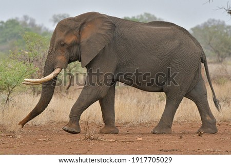 African Elephant largest land mammal was seen on safari in Kruger National Park and Botswana Royalty-Free Stock Photo #1917705029