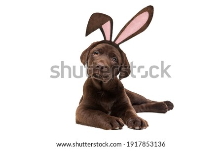 A chocolate Labrador puppy dog with bunny ears in front of a white background.