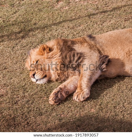 The most beautiful pictures of the lion while he is sleeping, high-resolution and clear pictures