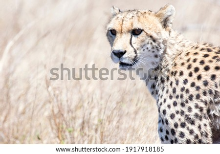 Close up of head of Cheetah with savannah grass background
