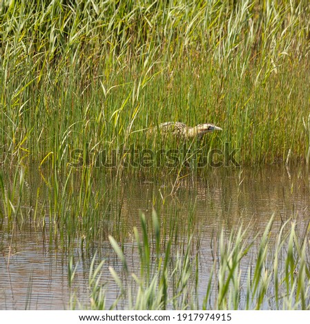Bittern standing very still in a reedbed, hunting. Royalty-Free Stock Photo #1917974915