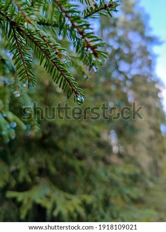Pine branches with water drops. Evergreen forest. Сoniferous trees after the rain. Royalty-Free Stock Photo #1918109021