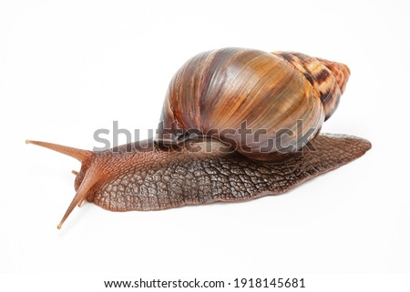 Achatina fulica, giant snail on a white background, Royalty-Free Stock Photo #1918145681