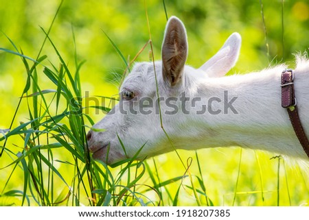 White goat in the garden eats young succulent grass, breeding goats