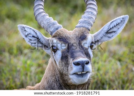 The blackbuck (Antilope cervicapra), also known as the Indian antelope, is an antelope native to India and Nepal. The blackbuck is a moderately sized antelope.  Royalty-Free Stock Photo #1918281791