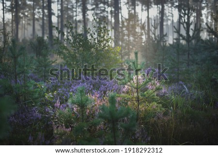 Majestic evergreen pine forest in a fog at sunrise. Blooming purple heather flowers, young spruce trees close-up. Soft sunlight, sun rays. Picturesque scenery. Nature, environmental conservation Royalty-Free Stock Photo #1918292312