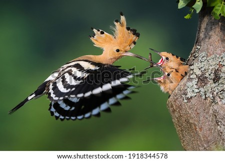 eurasian hoopoe, upupa epops, feeding chick inside tree in summer nature. Little birds eating from mother from hole in wood during summertime. Feathered animal with crest in flight with worm in beak. Royalty-Free Stock Photo #1918344578
