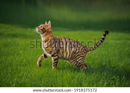 Toyger cat with stripes outside Royalty-Free Stock Photo #1918375172