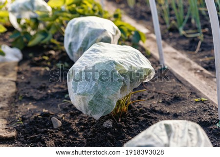 Strawberry bushes are covered with special caps to protect them from insects. Royalty-Free Stock Photo #1918393028