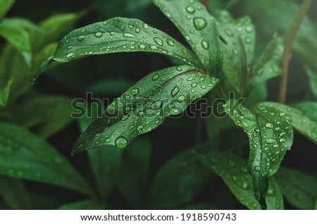 green peony leaves with raindrops Royalty-Free Stock Photo #1918590743