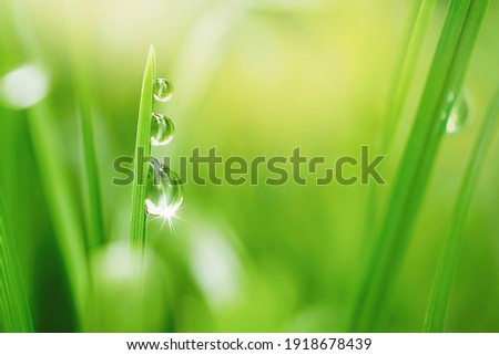 Transparent droplets of dew in grass on summer morning sparkle in sunlight in nature. Selective focus. Fresh grass with water drops.  Blurred background light green color, macro. Royalty-Free Stock Photo #1918678439
