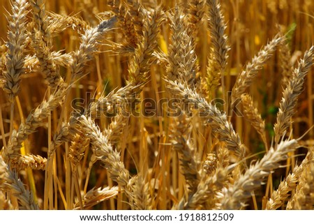 golden spikelets of wheat in the field close up. Ripe large golden ears of wheat against the yellow background of the field. Close-up, nature. The idea of a rich summer harvest, farming Royalty-Free Stock Photo #1918812509