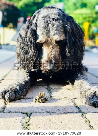 Goldendoodle Playing with Toad Friend