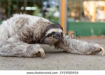 Three-toed sloth in Costa Rica. Mammal, lazy. Royalty-Free Stock Photo #1919000456