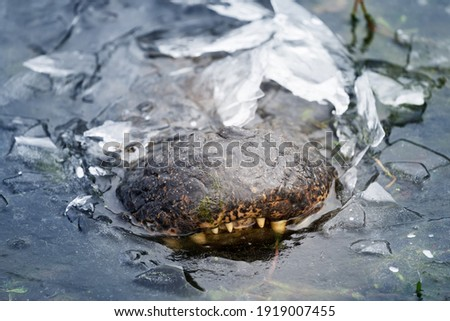 Alligator frozen in ice. Only the nose is visible. Brazos Bend State Park,  Texas, USA Royalty-Free Stock Photo #1919007455
