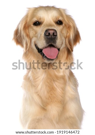 Golden Retriever Dog isolated on a white background Royalty-Free Stock Photo #1919146472
