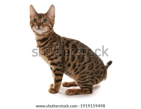 Rosetted Bengal Kitten isolated on a white background Royalty-Free Stock Photo #1919159498