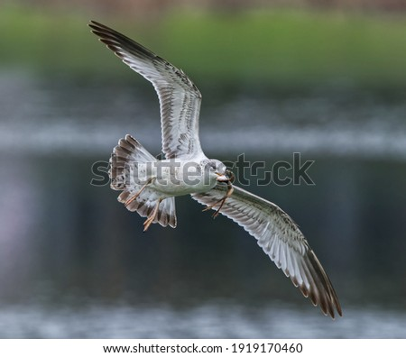 immature Ring-billed Gull (Larus delawarensis) in flight with Southern Leopard Frog (Lithobates sphenocephalus) in it's mouth