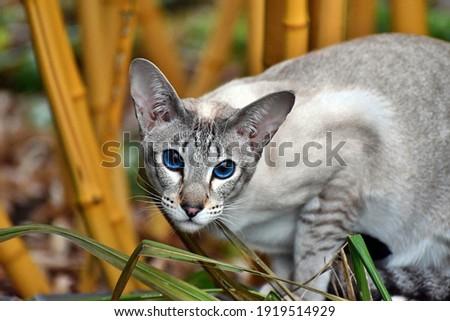 Oriental Shorthair cat blue eyes Royalty-Free Stock Photo #1919514929