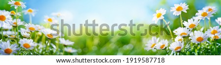 Yellow daffodils flower bed.nature background Royalty-Free Stock Photo #1919587718