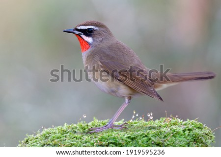beautiful brown bird stepping over soft greem moss weed with water drops on top, male of siberian rubythroat Royalty-Free Stock Photo #1919595236