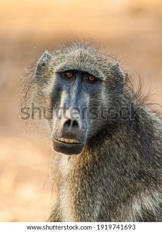 Chacma Baboons sitting in the African sun