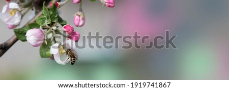 bee on a white flower on a tree. Bee picking pollen from apple flower.Bee on apple blossom.Honeybee collecting pollen at a  flower blossom Royalty-Free Stock Photo #1919741867
