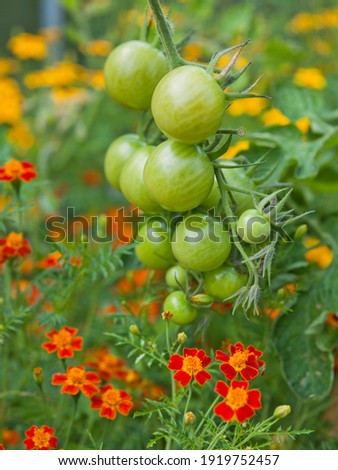 Tomato plants with green fruit and marigolds -  companion plants in a permaculture garden. Marigolds help to pollinate more tomatoes. Royalty-Free Stock Photo #1919752457