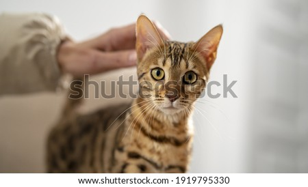 Bengal cat is stroking by a female hand, selective focus, close-up. Concept: Pets calm their owners. Royalty-Free Stock Photo #1919795330