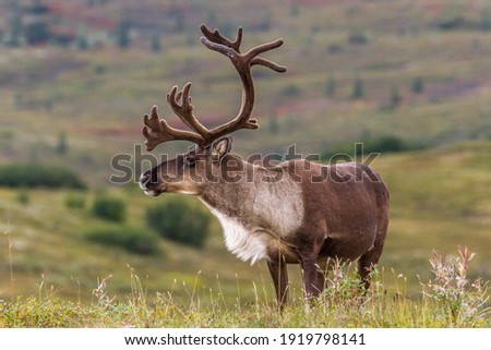 Male Caribou develop their antlers throughout the summer in preparation for the fall rut. As fall approaches they also develop a beautiful white coat around the neck area.  Royalty-Free Stock Photo #1919798141