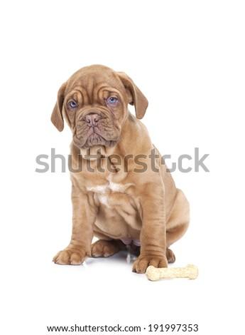 Nine months old French Mastiff puppy with dog bone  #191997353