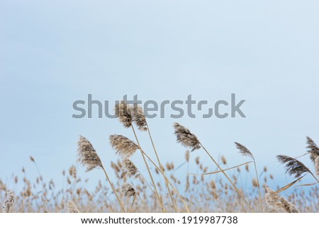 Dry plant reeds on lake, against blue sky, natural background. Environment, solace in nature, digital decor. Natural design and tones.