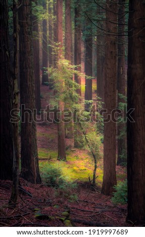 Pine tree forest sunbeams scene. Pine forest sunbeams. Pine tree forest view. Pines in pine forest Royalty-Free Stock Photo #1919997689