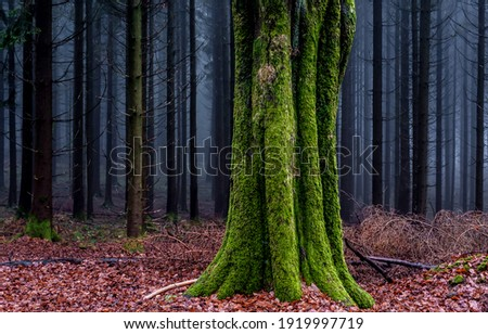 Mossy tree trunk in autumn forest. Forest mist tree moss. Green moss on tree trunk in forest mist. Misty forest tree trunk moss Royalty-Free Stock Photo #1919997719