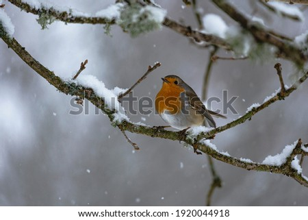 Red breasted Robin in the snow. The picture is taken in Sweden during winter.