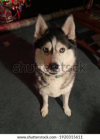 A picture of my beautiful Siberian Husky.