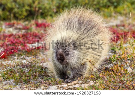 Porcupine are common in Denali National Park. Usually they are active at dusk and dawn in vegetated areas. This on was seen high on the open Tundra.