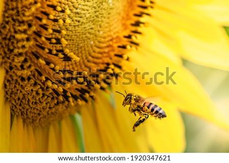 honey bee pollinating sunflower plant Royalty-Free Stock Photo #1920347621