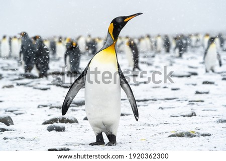A king penguin gazes skyward as snow falls gently. In the background, other members of the penguin colony also enjoy the rare South Georgia summer snow.