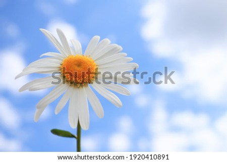 Chamomile flower on a background of blue sky with clouds.