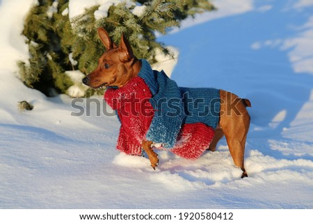 Miniature Pinscher in clothes on a walk in the winter in the woods. Close-up. Dogs in a knitted jumpsuit in the park, on a winter day. A pet in a warm sweater is standing in the snow. Winter.