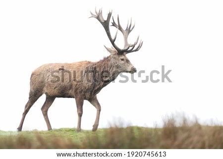 Close-up of a red deer stag against clear background. Royalty-Free Stock Photo #1920745613