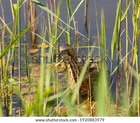 Bittern swimming towards you in the reeds. Royalty-Free Stock Photo #1920883979