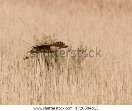 Bittern in flight over a reed bed. Royalty-Free Stock Photo #1920884615