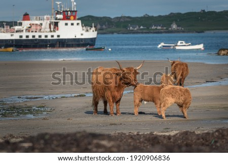 Group of Highland Cattle on the beach shore line with Iona in the background. Ferry boats blurred in the background leaving the harbour. Adults and baby cattle. Latin name Bos taurus taurus Royalty-Free Stock Photo #1920906836