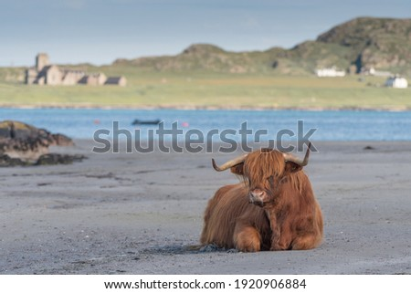 Highland cow sat on the beach looking at the camera. Sea in the background with Iona visible. Latin name Bos taurus taurus Royalty-Free Stock Photo #1920906884