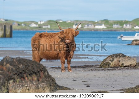 Highland cow stood on the beach looking at the camera. Sea in the background with Iona visible. Latin name Bos taurus taurus Royalty-Free Stock Photo #1920906917