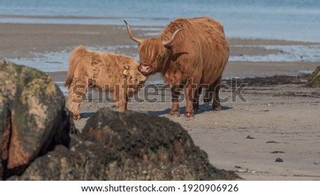 Highland cattle on the beach with sea in the background. Adult and calf cow. Mother looking after young. Latin name Bos taurus taurus Royalty-Free Stock Photo #1920906926