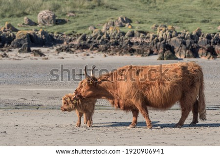 Highland cattle on the beach with green grass in the background. Adult and calf cow. Mother looking after young. Latin name Bos taurus taurus Royalty-Free Stock Photo #1920906941
