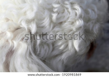 White miniature poodle in a closeup. Soft, fluffy, curly fur of the friendly little pet dog. Lovely texture. Closeup of the poodle fur, hairy, cute surface ready to be pet! Adorable animal. Royalty-Free Stock Photo #1920981869